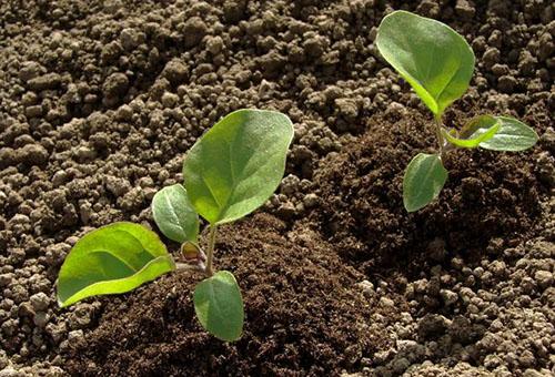 Рыхлая земля для рассады