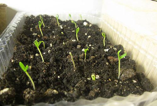 Всходы семян баклажана