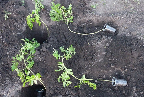 Посадка переросшей рассады помидора