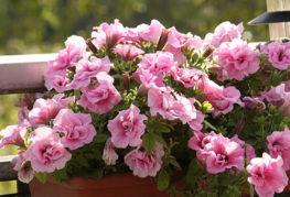 Розовая петуния