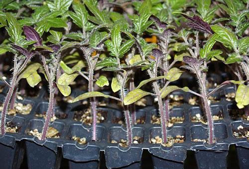 Рассада томата с недостатком фосфора