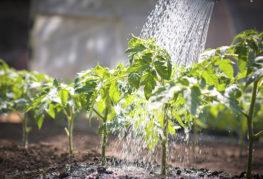 Внекорневая подкормка рассады томата