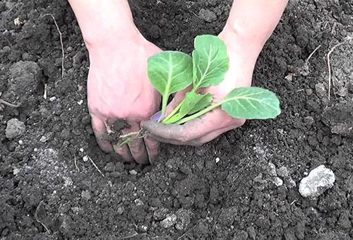 Высадка рассады капусты