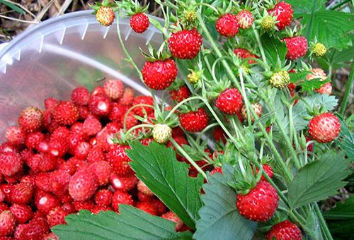 Сбор ягод земляники