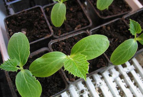 Правильное выращивание рассады огурцов