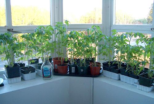 Рассада томатов на лоджии