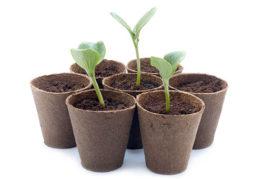 Растения в торфяных горшочках