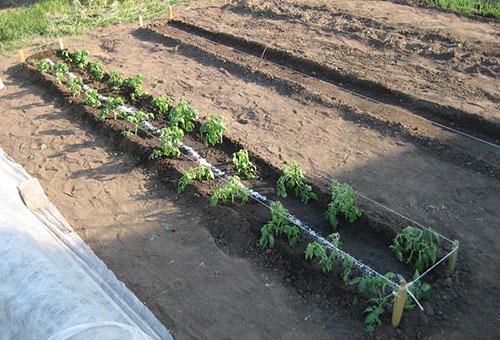 Грядка с рассадой томата