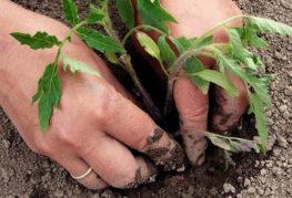 Высадка томата в грунт