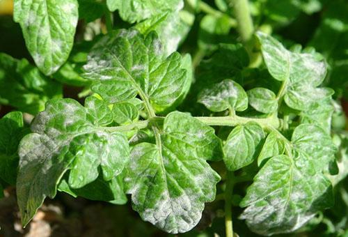 Мучнистая роса на листьях томата