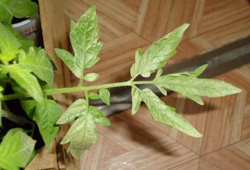 Бледный лист томата
