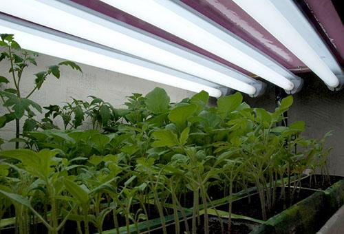 Рассада томатов под лампами дневного света