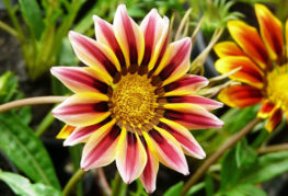 Цветок гацании