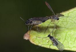 Сциариды - грибные комарики