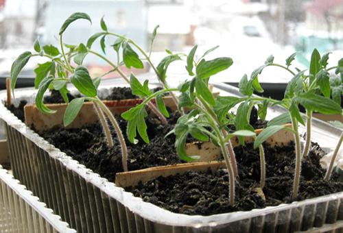 Рассада томатов в общей емкости