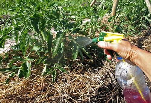 Опрыскивание помидора