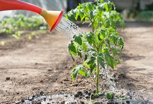Полив томата водой