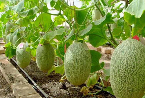 Выращивание дыни на шпалерах