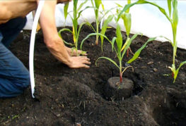 Высадка кукурузы в открытый грунт
