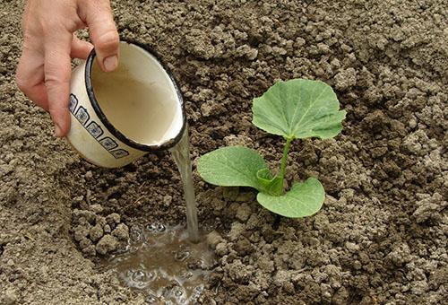 Полив рассады тыквы в открытом грунте