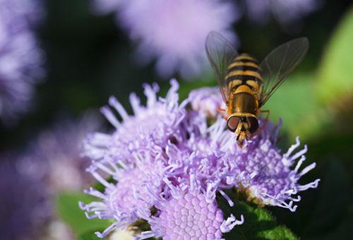 Пчела на цветках агератума