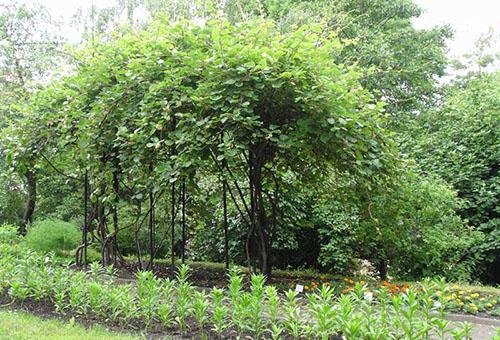 Лиана актинидия в саду