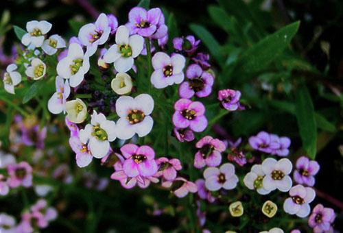 Цветки алиссума разных оттенков