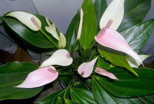 Бело-розовый антуриум