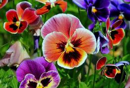 Разноцветные анютины глазки