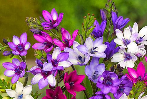 Разноцветная бабиана