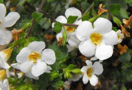 Цветки бакопы