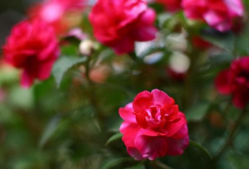 Цветущий бальзамин