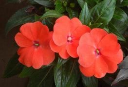 Красные цветки бальзамина