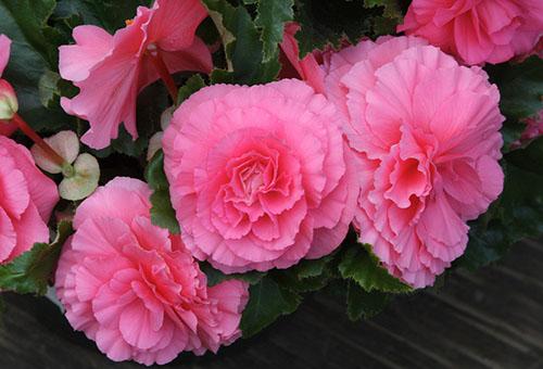 Розовые цветки бегонии