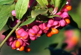 Ветвь бересклета с ягодами