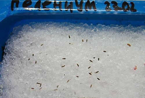 Посадка гелениума семенами
