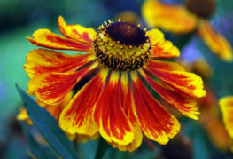 Цветок гелениума