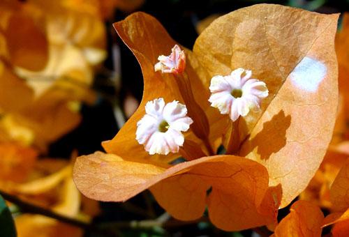Бугенвиллия с оранжевыми прицветниками