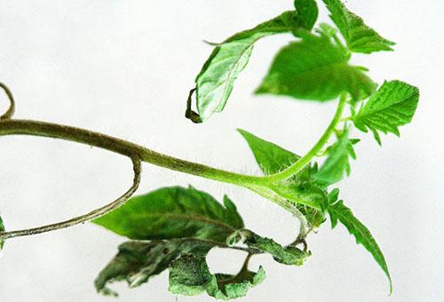 Грибковое поражение рассады томата