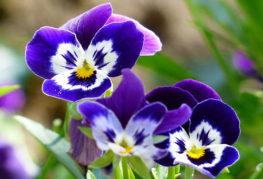 Цветки виолы