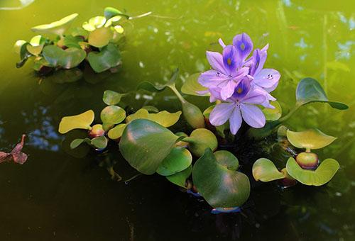 Цветущий водный гиацинт