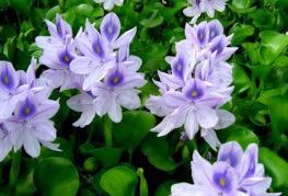 Цветущие водные гиацинты
