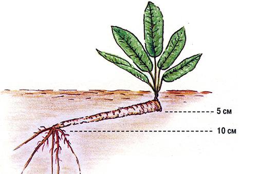 Схема высадки хрена в открытый грунт