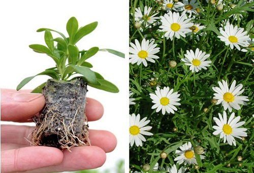 Размножение цветков