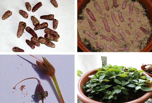 Проращивание семян цветка