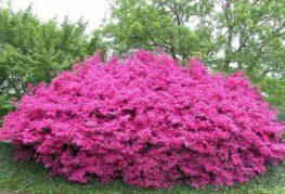 Садовой цветок