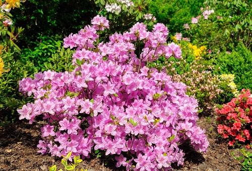 Садовые розовые цветы