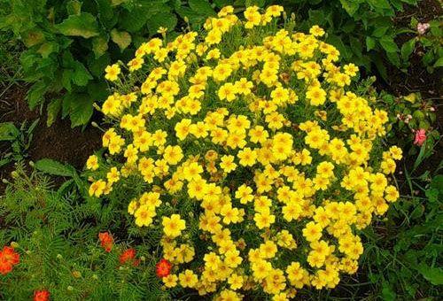 Цветки тонколистные