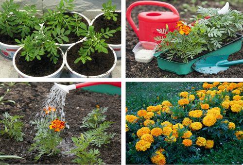 Посев цветов в почву