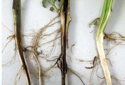 Болезнь корней растений черная ножка